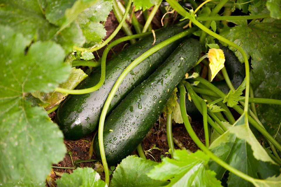 Grüne Zucchinifrucht im Beet