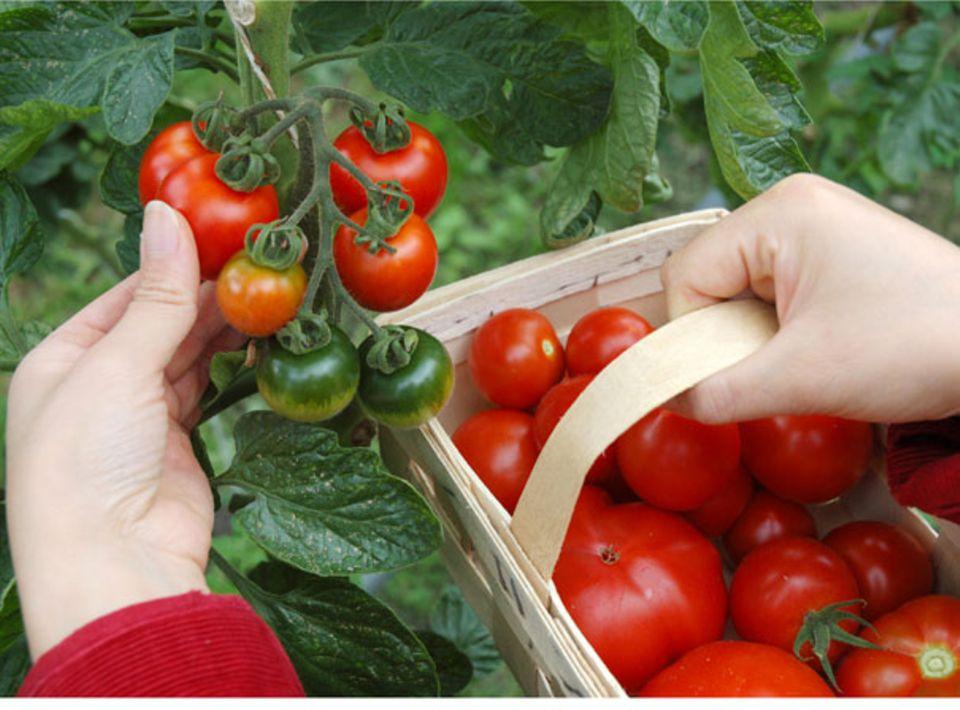 Köstlich aromatische Tomaten zum Selber ernten: Tomatenfest der Bio-Gärtnerei Sannmann