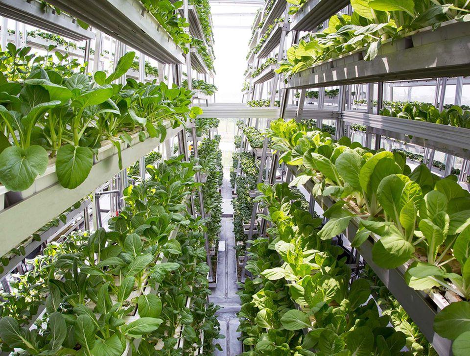 Drunter und drüber: In Singapur wachsen Pak choi und anderes Gemüse in Etagen