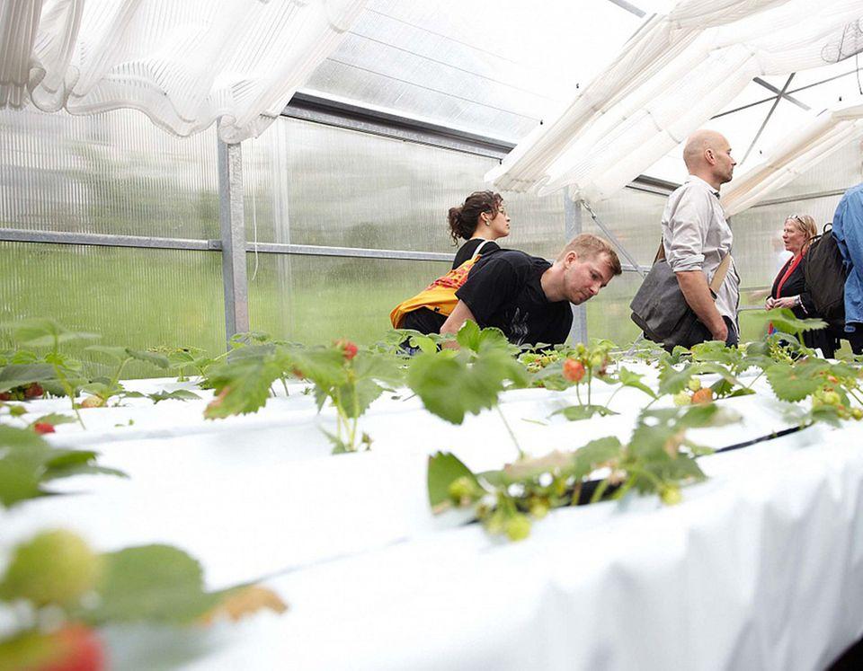 Im Gewächshaus gedeihen Erdbeeren dank Dünger aus Schwarzwasser