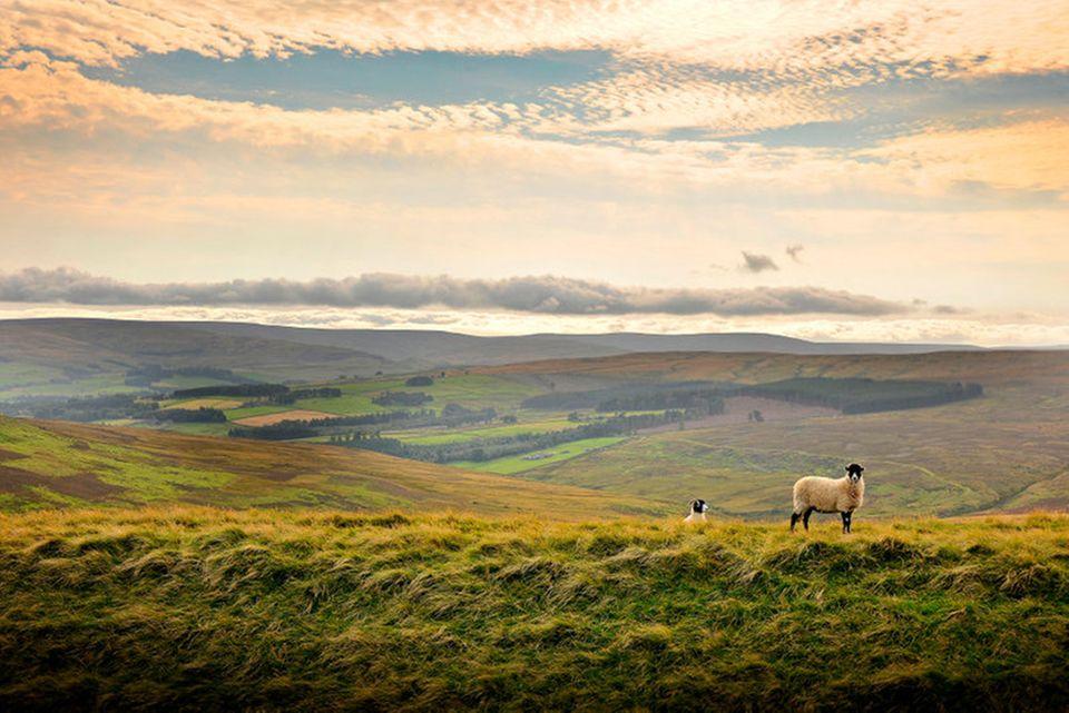 Nordengland ist berühmt für Hügellandschaften mit saftigen Wiesen. Rinder- und Schafzucht haben hier lange Tradition