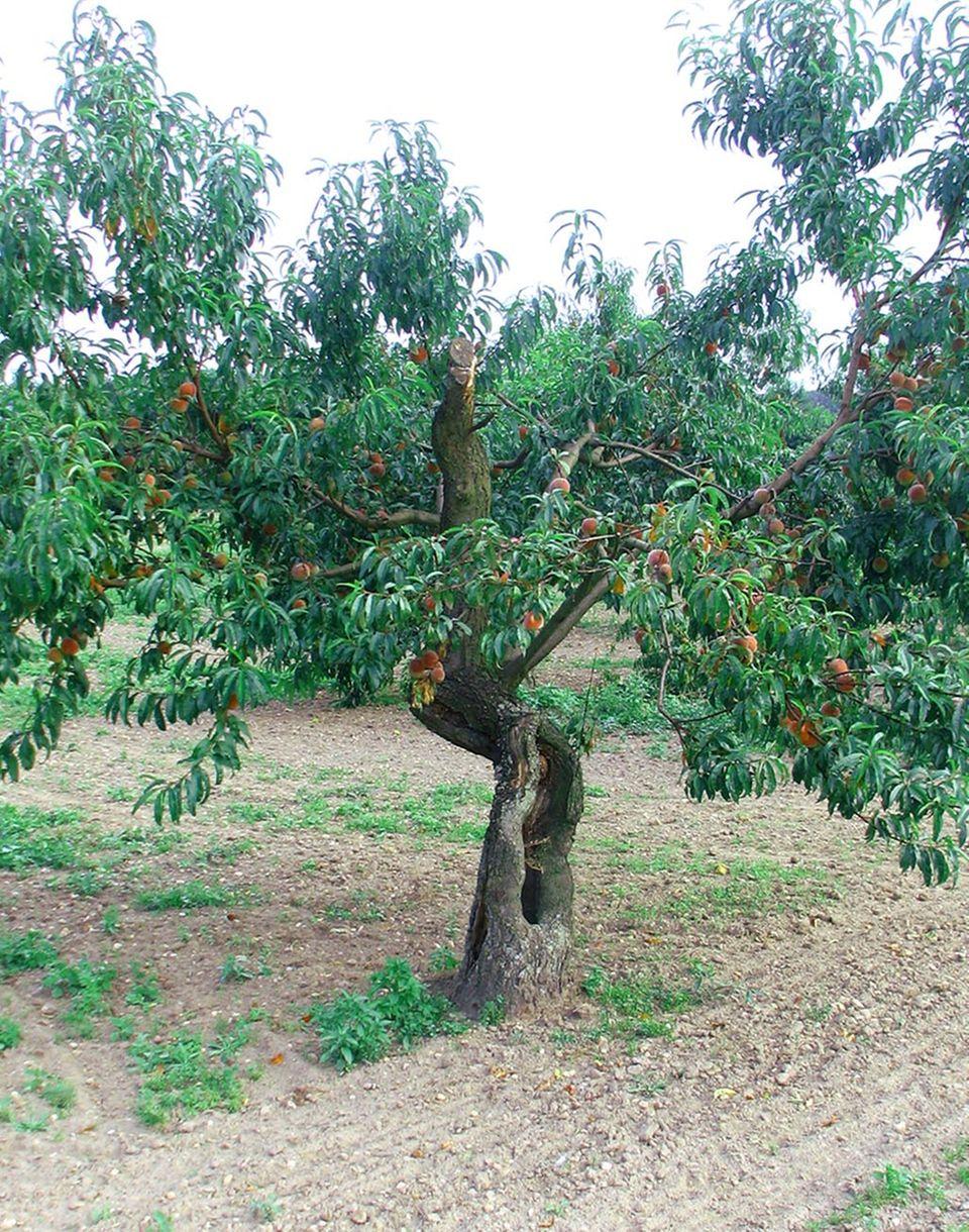 Pfirsichbaum: Wassenberger Sämling