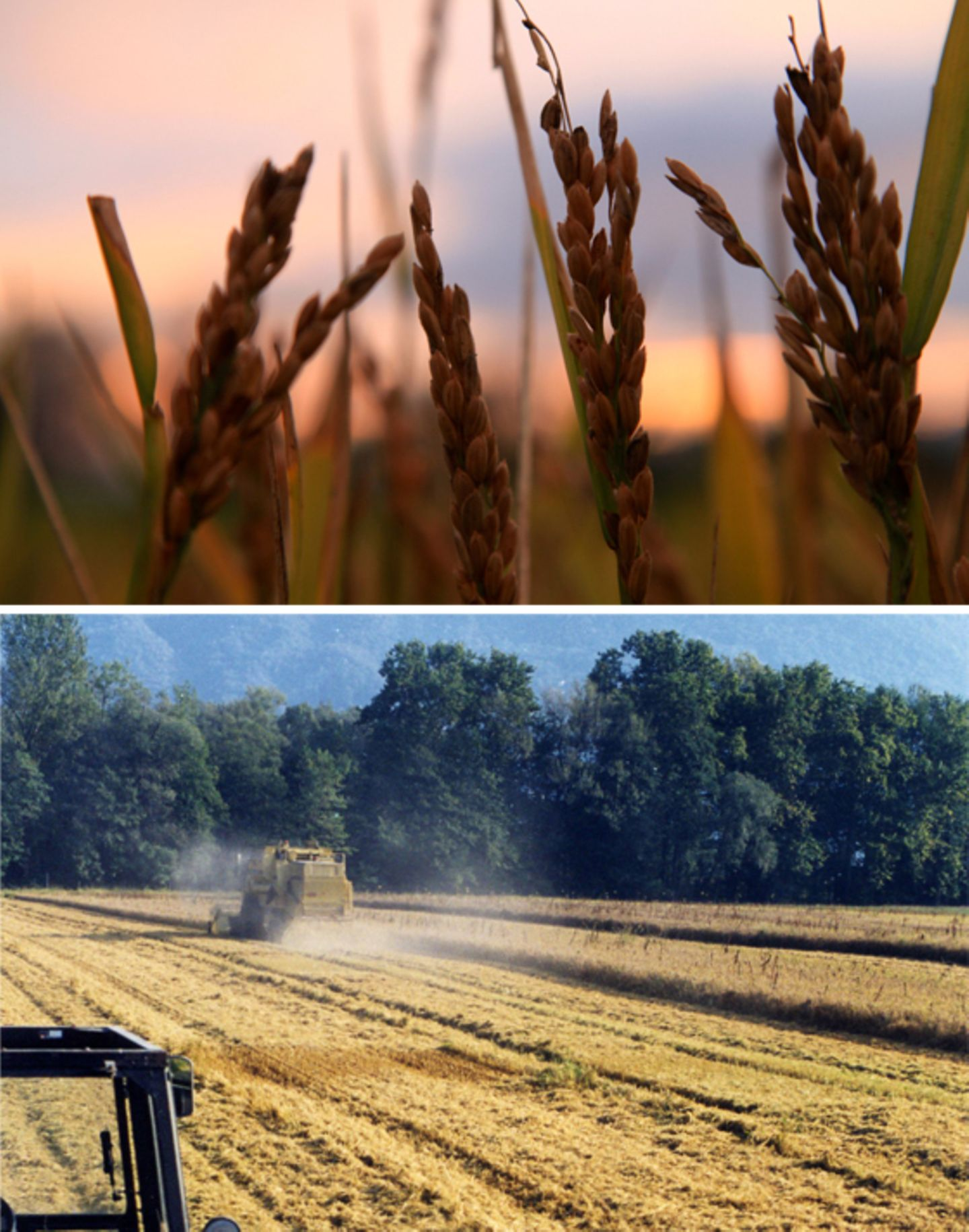 Die nördlichsten Reisfelder Europas