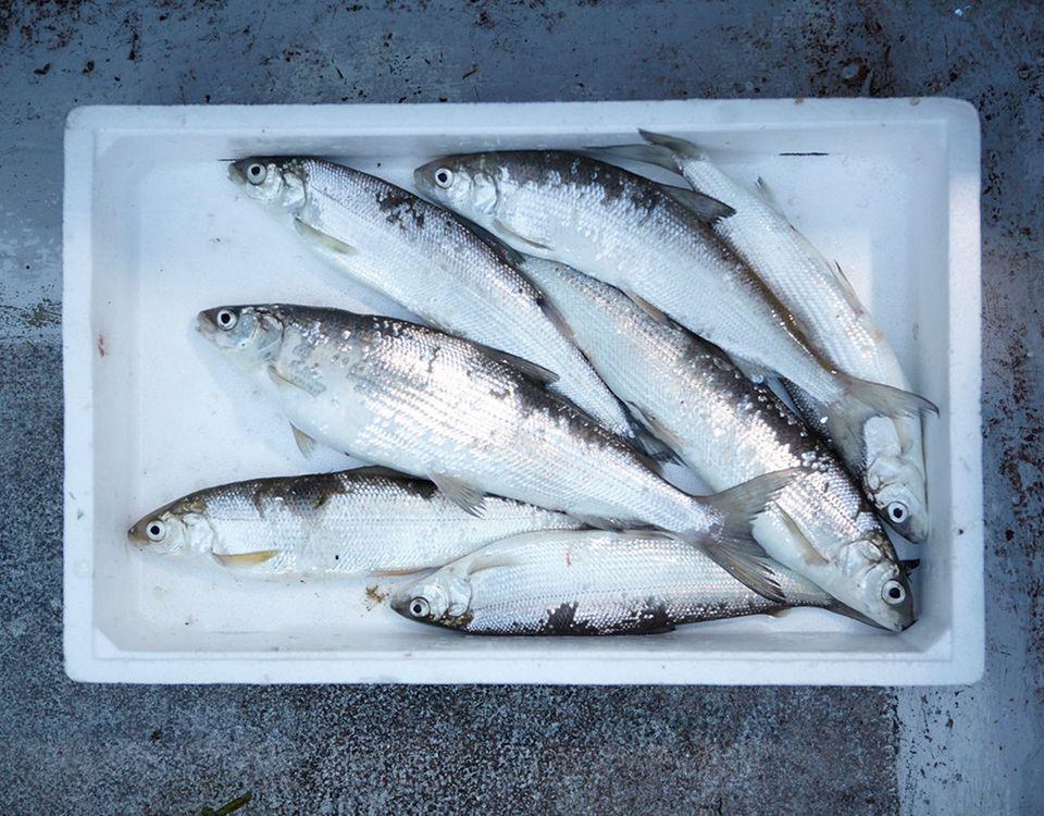 Frischer Fisch in einer Box