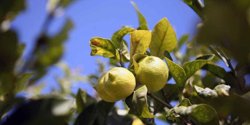Grom Zitronen