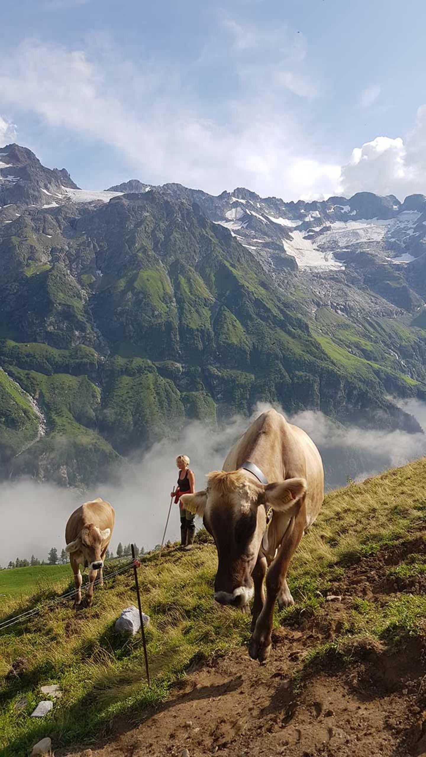 Alpkäse-Trail Engelberg Kühe
