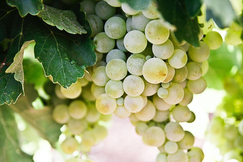 weiße Weinreben in der Sonne in Spanien