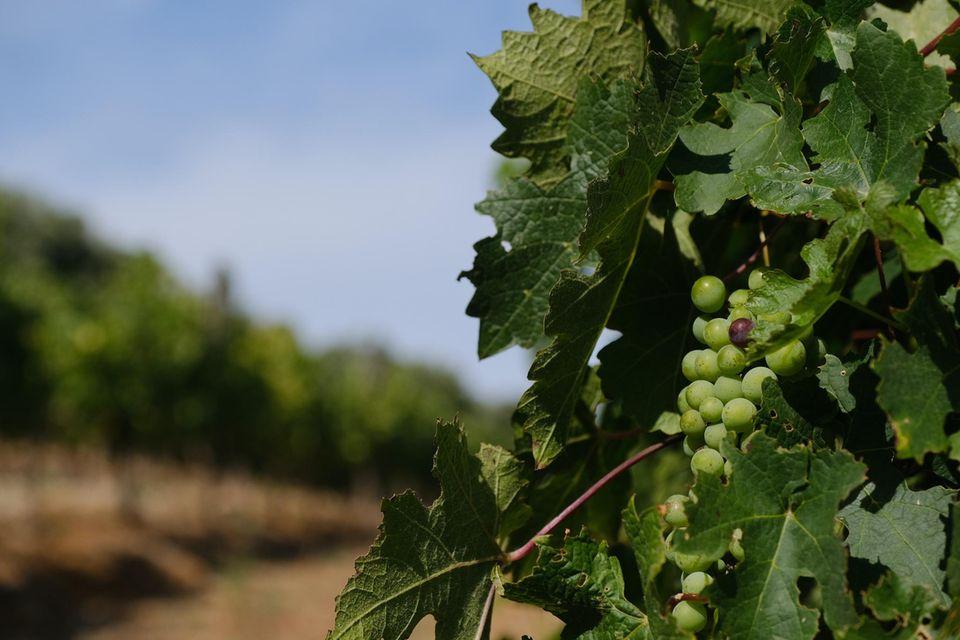 Weinrebe auf Weingut in Südafrika